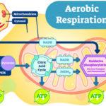 Cellular Respiration, Aerobic & Anaerobic Respiration