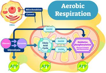 Cellular-respiration-featured