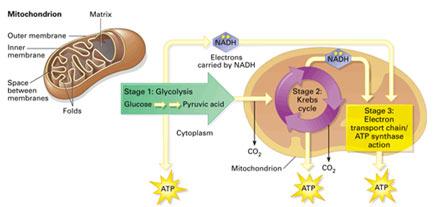 Mitochondria-role