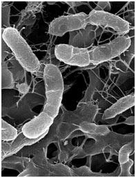 Chemosynthetic-Bacteria