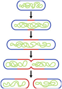 Reproduction-in-Bacteria