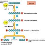 Glycolysis, Pyruvic Oxidation, Krebs cycle, and Respiratory Chain