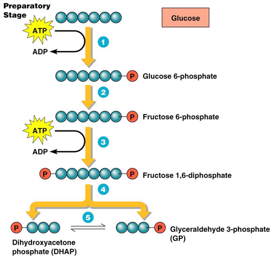 Glycolysis-Preparatory