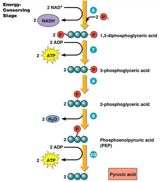 Bisphosphoglycerate