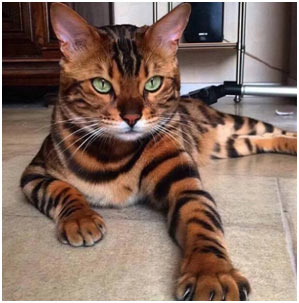 Toyger-cat