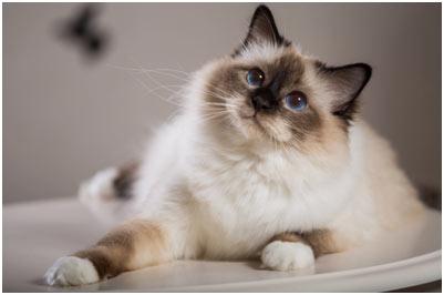 Birman-cat