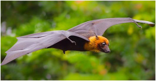 Indian-Flying-Fox