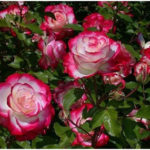 Aromatic Roses to Plant in Your Garden