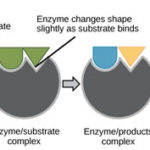 Enzymes - The Biocatalyst [Structure, Coenzyme, Characteristics of Enzymes]