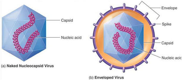 Viruses-Structure
