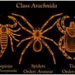 Arachnids - Characteristics, Classification, & Physiology of Arachnid