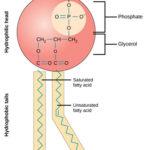Phospholipids- Definition, Structure, Classification, Functions of Phospholipids