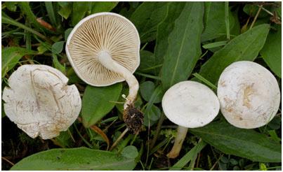 Fools-Mushroom