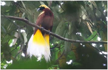 Lesser-Bird-of-Paradis
