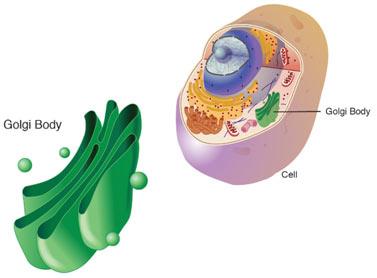 Golgi-Apparatus