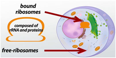 Ribosomes-featured