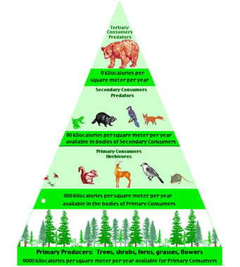 Pyramid-of-biomass