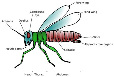 Characteristics-of-Insects