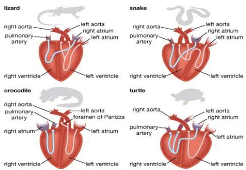 Heart-of-Different-Reptiles