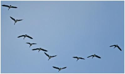 Flight-in-Birds