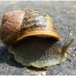 Gastropod - Habitat, Characteristics, Reproduction behaviors in Gastropods