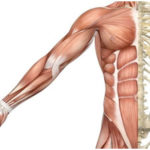 The Skeletal Muscles- Structure and Working