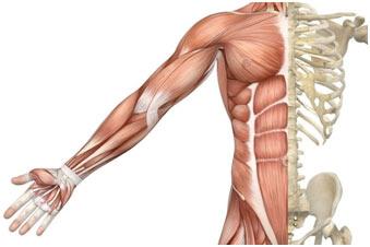 Skeletal-Muscles