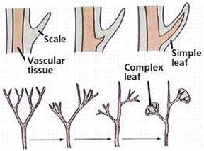 Evolution-of-Leaf