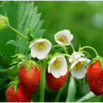 Some Famous Plants in Family ROSACEAE
