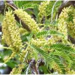 Some Famous Plants of Mimosa or Acacia Family