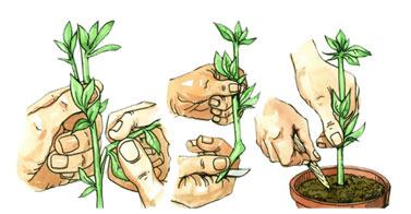 Vegetative-Propagatio