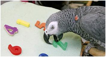 Grey-parrot