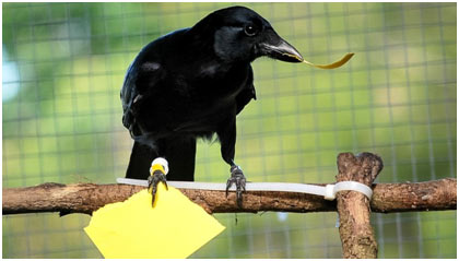 Ravens-and-Crows