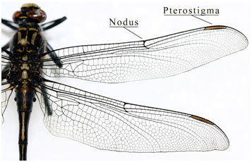 Pterostigma