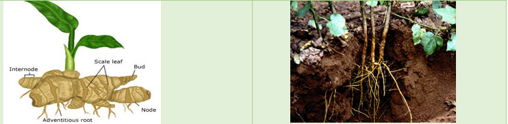 Comparison of Rhizome and Root