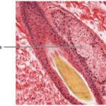 Skin Glands in Mammals