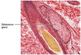 Skin-Glands-in-Mammal